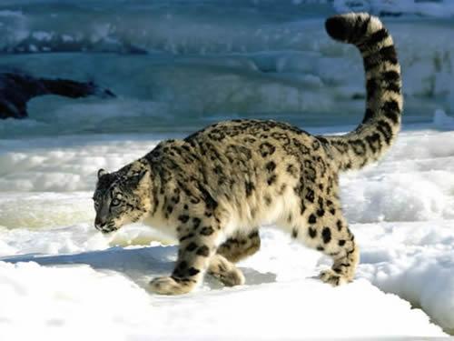 snow-leopard_5