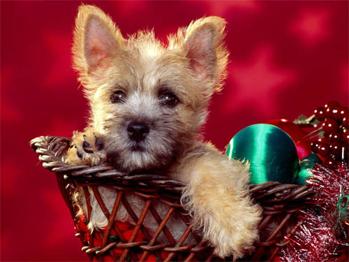 Wallpaper-christmas-dog-basket in Beautiful Christmas Pictures and Creative Christmas Designs