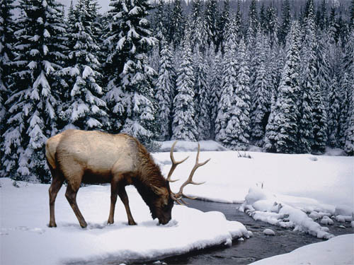 Wallpaper-winter-landscape-stag in Beautiful Christmas Pictures and Creative Christmas Designs
