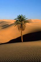 desert-palm