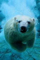 diving-orso