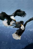 eagle-battle