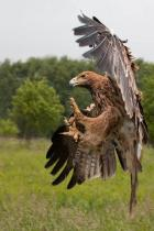 eagle-strike