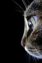 feline-profile