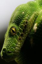 verde-serpente