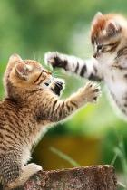 kitten-fight