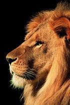 lion-profilo