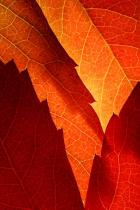 Maple Leaf-