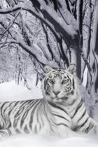 snow-tigre