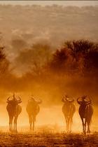 wild-mucca