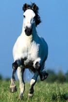 wild-white-horse